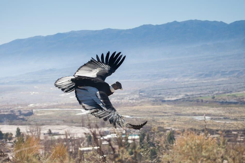 A condor soars above Argentina.